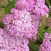 'Apple Blossom' is a herbaceous perennial with grey-green, ferny foliage and tall stems topped with soft lilac-pink, flat topped flowers throughout summer. Achillea millefolium 'Apple Blossom'  added by Shoot)
