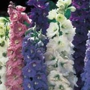 'Dwarf Hyacinth Mix' is a dwarf, upright annual that has green leaves and spikes of double blooms that come in a mix of white, pink, light blue or mauve. Delphinium consolida 'Dwarf Hyacinth Mix' added by Shoot)