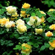 'Charles Darwin' is an English rose with an upright, bushy form and mat green leaves. In summer it has large, fragrant, medium yellow flowers that repeat bloom. Rosa 'Charles Darwin' added by Shoot)