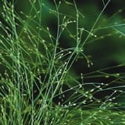 Agrostis nebulosa added by Shoot)