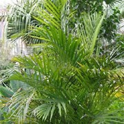 Dypsis lutescens added by Shoot)