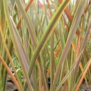 'Co-ordination' forms a clump of evergreen strap-shaped leaves striped with green margins and bronze-brown centres. In summer it has tall panicles of red flowers. Phormium tenax 'Co-ordination' added by Shoot)