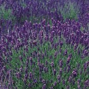 'Hidcote Blue' is an evergreen, aromatic shrub with dense, narrow, silver-grey leaves and spikes topped with deep purple-blue flowers in summer. Lavandula angustifolia 'Hidcote Blue' added by Shoot)