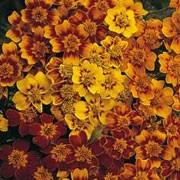'Starfire' is a neat, compact, mounding annual with an abundance of yellow, orange and red mixed blooms that will reapeat all throughout summer. Tagetes tenuifolia 'Starfire' added by Shoot)