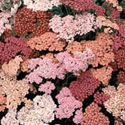 'Summer Berries' is an upright, clump forming perennial with finely-cut foliage and flat flower heads in a mixture of pinks and dusty reds in summer.
