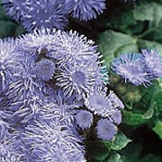 'Blue Mink' is a neat, mounding annual with mid-green leaves and threadlike, powder-blue flowers throughout the summer until the frost.  Ageratum houstonianum 'Blue Mink' added by Shoot)