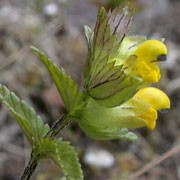Rhinanthus minor added by Shoot)