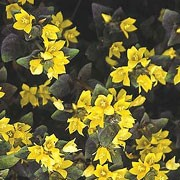 'Persian Chocolate' is a low growing, spreading, semi-evergreen groundcover. It has small, purple leaves and golden-yellow, bell shaped flowers that smother the plant in spring. Lysimachia congestiflora 'Persian Chocolate' added by Shoot)