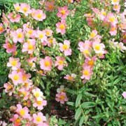 'Lawrensons Pink' is a low spreading, evergreen shrub with narrow, dark green leaves. In summer, it bears rose pink flowers with a yellow eye. Helianthemum 'Lawrensons Pink' added by Shoot)