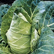 'Durham Early' is cultivated vegetable plant with a short thick, stalk and a small, compact head of edible leaves. This variety is a spring cabbage producing large, solid heads. Brassica oleracea capitata 'Durham Early' added by Shoot)
