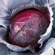 'Jewel' is a cultivated vegetable plant producing a short, thick stalk and a compact, round head of edible, purple-red leaves from mid-autumn to mid-winter. Brassica oleracea capitata 'Jewel' added by Shoot)