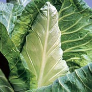 'Peter' is a cultivated vegetable plant producing a short thick, stalk and a compact, pointed head of edible leaves in autumn. Brassica oleracea capitata 'Peter' added by Shoot)