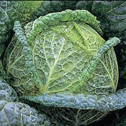 'Wintessa' is a cultivated vegetable plant producing a short, thick stalk and a compact, round head of edible, wrinkled leaves from mid-winter to early spring.  Brassica oleracea capitata 'Wintessa' added by Shoot)