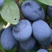 'Shropshire Damson' is a very good tasting plum with fruit being black-blue and having a tart taste. Prunus insititia 'Shropshire Damson' added by Shoot)