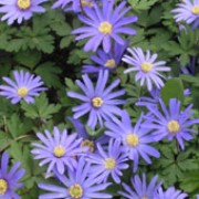 Anemone blanda added by Shoot)
