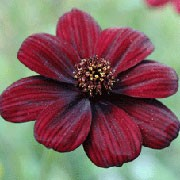 'Chocamocha' is a dwarf, clump forming, herbaceous perennial with fine, green foliage and deep-maroon, velvet flowers that smell of chocolate.