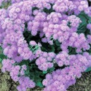'Blue Danube' is a compact, mound-forming annual with oval, hairy, bright green leaves and clusters of lavender-blue flowers from midsummer until the first frosts. Ageratum houstonianum 'Blue Danube' added by Shoot)