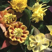 'Oranges and Lemons' is a clump-forming, herbaceous perennial with fern-like, mid-green, basal leaves and fragrant, nodding, pale yellow or orange flowers from late spring to midsummer. Aquilegia vulgaris 'Oranges and Lemons'  added by Shoot)