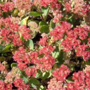 'Munstead Dark Red' is an upright, herbaceous perennial with narrow, green foliage tinted purple. In late summer and autumn it has deep-pink, flat flower heads. Sedum telephium 'Munstead Dark Red' added by Shoot)