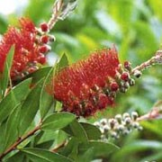 'Red Clusters' is a rounded, evergreen shrub with deep green, lanceolate leaves with pink new shoots and masses of crimson red flower spikes that have gold anthers in spring annd autumn. Callistemon 'Red Clusters' added by Shoot)