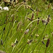 Plantago lanceolata added by Shoot)