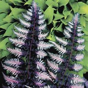 'Ursula's Red' is a deciduous, rhizomatous fern with pinnate, lance-shaped fronds that are green for the first year and, from the second year on, are bi-coloured with shades of purple, black, white and pink. Athyrium 'Ursula's Red' added by Shoot)