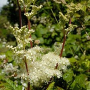 Filipendula ulmaria added by Shoot)