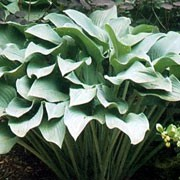 'Krossa Regal' is a clump-forming, herbaceous perennial with glossy, lance-shaped, blue-green leaves on long, erect stems and narrow, leafless stalks bearing racemes of bell-shaped, pale purple-blue flowers in summer. Hosta 'Krossa Regal' added by Shoot)