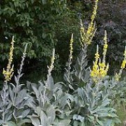 Verbascum bombyciferum   added by Shoot)