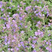 'Kit Kat' is a compact, clump-forming, herbaceous perennial with small, hairy, aromatic, grey-green leaves and numerous, erect spikes of lavender-blue flowers from early summer to early autumn. Nepeta x faassenii 'Kit Kat' added by Shoot)