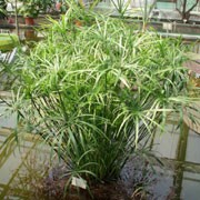 Cyperus alternifolius  added by Shoot)