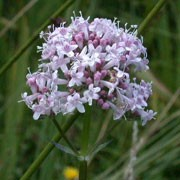 Valeriana officinalis added by Shoot)