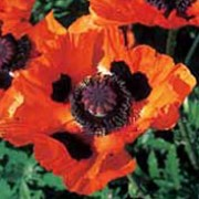 'Marcus Perry' is a clump forming, herbaceous perennial with erect, bristly and toothed, mid-green leaves and large, black centred, orange-red flowers from late spring to midsummer.  Papaver orientale 'Marcus Perry' added by Shoot)