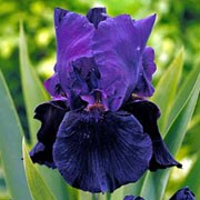 'Black Taffeta' is a clump-forming, rhizomatous perennial with strap-like, grey-green leaves and upright stems bearing deep purple flowers with dark purple-black falls from late spring to early summer.  Iris 'Black Taffeta' added by Shoot)