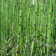 Equisetum hyemale added by Shoot)