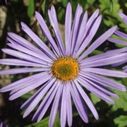 'Rudolf Goeth' forms a clump of dark green lance-shaped leaves and beautiful, large, violet-blue flowers from summer into autumn. Aster amellus 'Rudolf Goeth' added by Shoot)