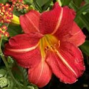 'Red Rum' is a clump-forming, semi-evergreen perennial.  It has strap-shaped leaves and in summer, bears red, funnel-shaped flowers with yellow throats. Hemerocallis 'Red Rum' added by Shoot)