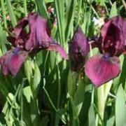 'Cherry Garden' is a clump-forming, herbaceous perennial with strap-shaped leaves and deep magenta-purple flowers in late spring. Iris 'Cherry Garden' added by Shoot)