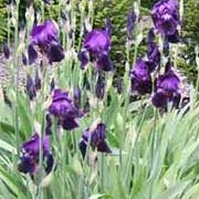 'Sable' is a clump-forming perennial with strap-shaped leaves and deep-purple flowers in early summer. Iris 'Sable' added by Shoot)