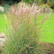 'Silberspinne' is a tall, deciduous grass with arching green leaves and auburn tinted flower plumes that turn silver as they age. Miscanthus sinensis 'Silberspinne' added by Shoot)