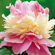 'Sorbet' is a herbaceous perennial with large, triple layered flowers of soft pink and pale yellow with a slight fragrance, blooming in late spring until early summer. Paeonia lactiflora 'Sorbet' added by Shoot)