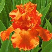 'Glazed Orange' is a hardy, large bulbous perennial with strong, green, upright foliage and delicate, frilly, orange flowers in late spring to early summer.