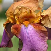 'Punchline' is a hardy, large bulbous perennial with strong, green, upright foliage and ruffled, pale brown, apricot and mauve flowers in late spring to early summer.