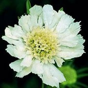 'Perfecta Alba' is a clump-forming perennial with lance-shaped grey-green leaves topped with large, white flowers on erect stems in summer.