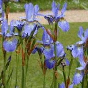 'Perry's Blue' is a clump-forming, herbaceous perennial with narrow, strap-shaped leaves.  In late spring to early summer. it bears clear blue flowers with white and yellow markings and dark blue veins on the falls. Iris sibirica 'Perry's Blue' added by Shoot)