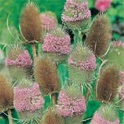 'Winter Bouquet' is a tall biennial loved by wildlife.  It has spiny toothed leaves and pink flower heads held on upright stems in summer, followed by spiky, brown seed heads. Dipsacus fullonum 'Winter Bouquet' added by Shoot)