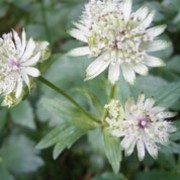 Astrantia major added by Shoot)