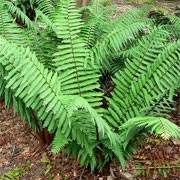Dryopteris wallichiana added by Shoot)