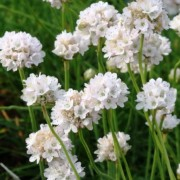 (26/06/2018) Armeria maritima 'Alba' added by Shoot)