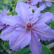 'Parisienne' is a compact, deciduous climber with dark to mid-green leaves and large, pale, violet-blue flowers with bright red anthers from early summer to early autumn.